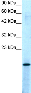 Western blot - PC4 antibody (ab23594)