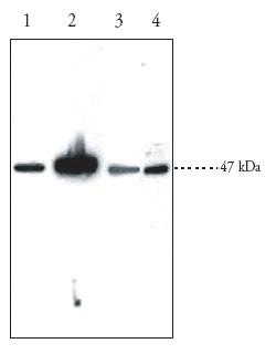 Western blot - EDG1 antibody (ab23695)
