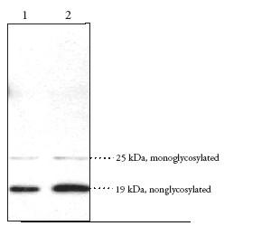 Western blot - Doppel antibody (ab23701)