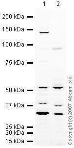 Western blot - SHARP2 antibody (ab23797)