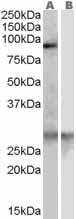Western blot - SCARF1 antibody (ab23933)