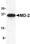 Western blot - MD2 antibody (ab24182)