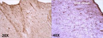 Immunohistochemistry (Frozen sections) - MD2 antibody (ab24182)