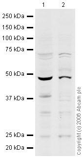 Western blot - n-Myc antibody (ab24193)