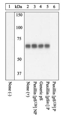 Western blot - Anti-Paxillin (phospho S126) antibody (ab24402)