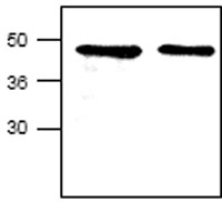 Western blot - CCN1 antibody (ab24448)