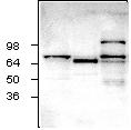 Western blot - JIP1 antibody (ab24449)