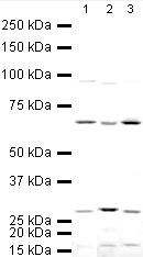 Western blot - Gliomedin antibody (ab24483)