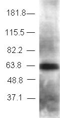 Western blot - TBLR1 antibody - ChIP Grade (ab24550)