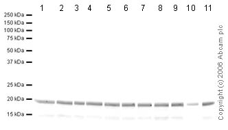 Western blot - Histone H3 (di methyl K27) antibody - ChIP Grade (ab24684)