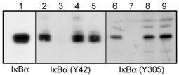 Western blot - IKB alpha (phospho Y305) antibody (ab24784)