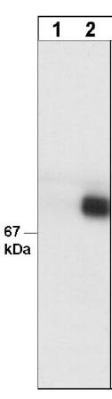 Western blot - Paxillin (phospho Y31) antibody [Tyr-31] (ab24786)