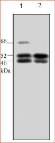 Western blot - SHC antibody (ab24787)