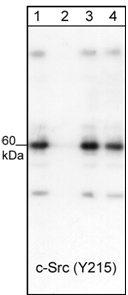 Western blot - Src (phospho Y215) antibody (ab24789)