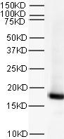 Western blot - Histone H3 antibody [mAbcam 24834] (ab24834)