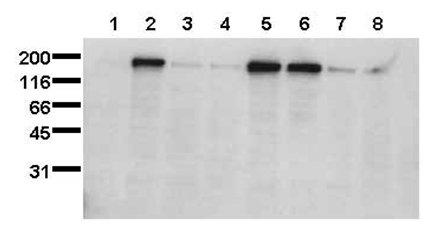 Western blot - EGFR (phospho S1047) antibody [1H9] (ab24918)