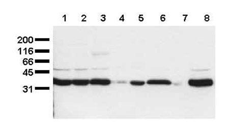 Western blot - Scramblase 1 antibody [1E9] (ab24923)