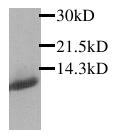 Western blot - Eotaxin antibody (ab25086)