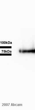 Western blot - CX3CL1 antibody (ab25088)