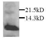 Western blot - Macrophage Inflammatory Protein 3 alpha antibody (ab25123)