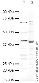 Western blot - HEY2 / Hry2 antibody (ab25404)