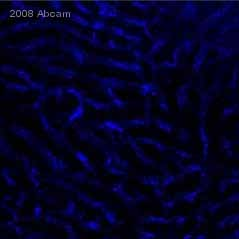 Immunohistochemistry (Frozen sections) - CD31 antibody [390] (Allophycocyanin) (ab25563)