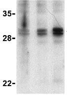 Western blot - XAF1 antibody (ab25889)