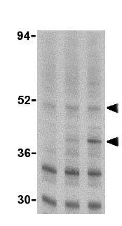 Western blot - Anti-Caspase-2L antibody (ab25896)