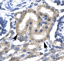 Immunohistochemistry (Paraffin-embedded sections) - TRAFD1 antibody (ab25942)
