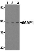 Western blot - MAP1 antibody (ab25954)