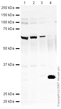 Western blot - Ikaros antibody (ab26083)