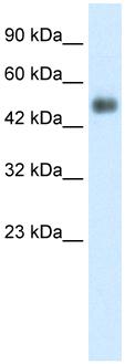 Western blot - GCM1 antibody (ab26137)