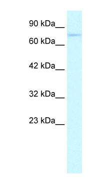 Western blot - ZNF336 antibody (ab26163)