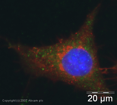 Immunocytochemistry/ Immunofluorescence - eIF2 alpha antibody (ab26197)