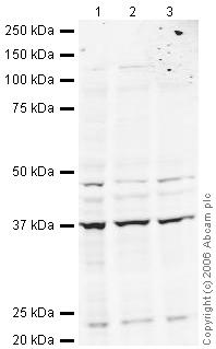 Western blot - eIF2 alpha antibody (ab26197)