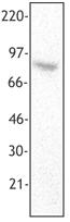 Western blot - SSRP1 antibody [3E4] (ab26229)