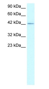 Western blot - ZNF207 antibody (ab26258)