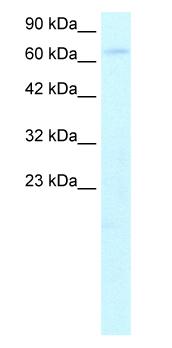 Western blot - HIV TAT specific factor 1 antibody (ab26261)
