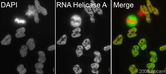 Immunocytochemistry/ Immunofluorescence - RNA Helicase A antibody (ab26271)