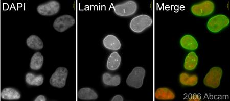 Immunocytochemistry/ Immunofluorescence - Lamin A antibody (ab26300)