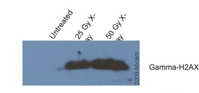 Western blot - gamma H2A.X (phospho S139) antibody [9F3] (ab26350)