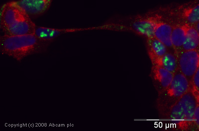 Immunocytochemistry/ Immunofluorescence - Cdc20 antibody (ab26483)