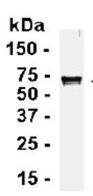 Western blot - TRAIL antibody (ab26933)