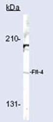 Western blot - Flt4 antibody (ab27278)