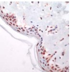 Immunohistochemistry (Formalin-fixed paraffin-embedded sections) - c-Fos antibody, prediluted (ab27436)