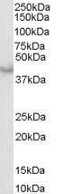 Western blot - Caspase 4 antibody (ab27485)