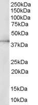 Western blot - ERK2 antibody (ab27505)