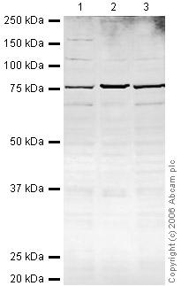 Western blot - PARN antibody (ab27778)