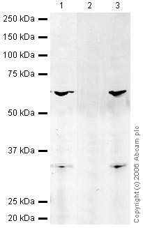 Western blot - FOXO3A (phospho S253) antibody (ab26652)