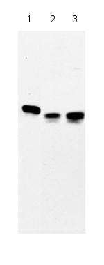 Western blot - HCM antibody (ab27973)